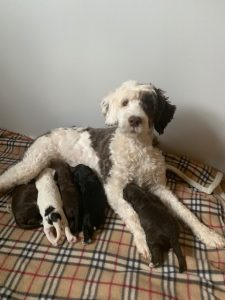 Nyota and Lindo's litter born Oct 24th, 2019